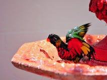 Lorikeet ptasi przybycie z ptaka skąpania Zdjęcie Stock