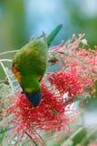 Lorikeet que alimenta en el néctar Imágenes de archivo libres de regalías