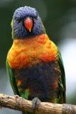 lorikeet rainbow Fotografia Stock