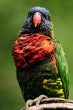 lorikeet rainbow Стоковое Изображение RF