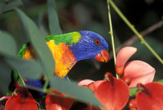 lorikeet rainbow Fotografia Royalty Free