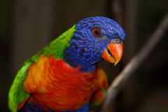 lorikeet rainbow Obraz Royalty Free