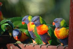 lorikeet rainbow Fotografia Stock