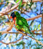 Lorikeet. Rainbow lorikeet or lory, Trichoglossus haematodus, single bird on branch royalty free stock images