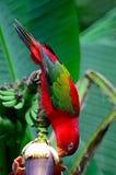 Lorikeet rojo Imagen de archivo