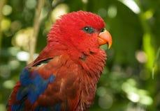 Lorikeet rojo australiano Imagen de archivo libre de regalías