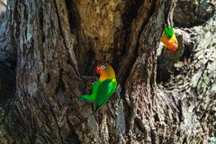 The lorikeet selects the nest in the hollow, Serengeti, Tanzania. The parrots selects the nest in the hollow, Serengeti, Tanzania. Africa Stock Photos