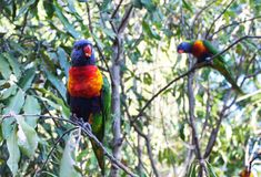 Lorikeet sitting on branch with food in mouth with out of focus bird behind stock photo