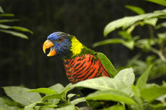 Lorikeet Squawking Royalty Free Stock Image