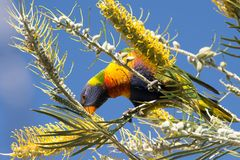 Lorikeet (Trichoglossus haematodus) eating in Australia Stock Photography