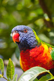 Lorikeet Stock Image