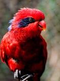 Lorikeet vermelho Imagens de Stock Royalty Free