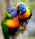 Lorikeet whispers a secret. A close-up of two rainbow colored Lorikeet birds. One looks as though he is whispering a secret to the other. There is a soft focus stock images