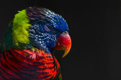 Lorikeet. A lorikeet in the Zoo Stock Photo