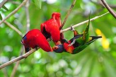 Lorikeets красного цвета и радуги Стоковое Изображение RF