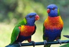 Свободный полет Австралия золота Lorikeets радуги Стоковые Изображения RF