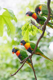 Lorikeets Obrazy Stock