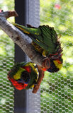 Lorikeets Photographie stock