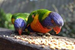Lorikeets alimentant sur des graines Image libre de droits