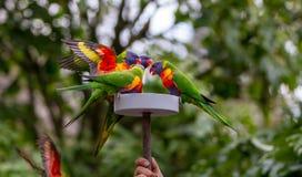 Lorikeets alimentant sur le nectar préparé Photo stock