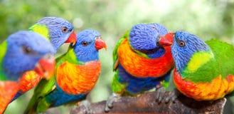 Lorikeets australianos del arco iris Imágenes de archivo libres de regalías