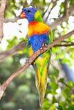 Lorikeets australianos del arco iris Fotografía de archivo