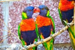 Lorikeets australianos del arco iris Foto de archivo libre de regalías