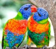 Lorikeets australianos del arco iris en el cerco de la naturaleza Fotografía de archivo