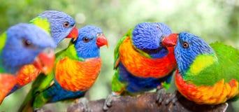 Lorikeets australianos do arco-íris Foto de Stock