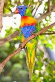 Lorikeets australiens d'arc-en-ciel Photographie stock
