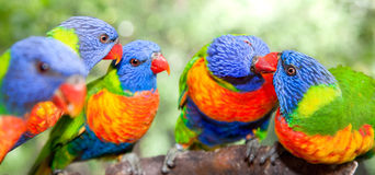 Lorikeets australiens d'arc-en-ciel Photo stock