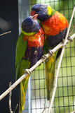 Lorikeets australiens d'arc-en-ciel Image stock