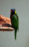 Lorikeets Royalty Free Stock Images