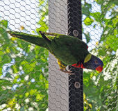 Lorikeets Royalty Free Stock Photography