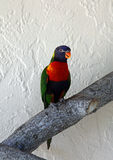 Lorikeets Royalty Free Stock Photo