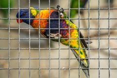 Lorikeets - a Colourful Parrot Rainbow. Colourful parrot Rainbow called Lorikeet, climbing up in a cage in a zoo Royalty Free Stock Photography
