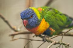 Lorikeets - a Colourful Parrot Rainbow. Colourful parrot Rainbow called Lorikeet, sitting on the branch in a cage in a zoo Royalty Free Stock Photos