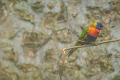 Lorikeets - a Colourful Parrot Rainbow. Colourful parrot Rainbow called Lorikeet, sitting on the branch in a cage in a zoo Stock Images