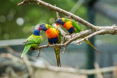 Lorikeets - a Colourful Rainbow Parrots. Colourful Rainbow parrots called Lorikeet, sitting on the branch in a cage in a zoo royalty free stock photos
