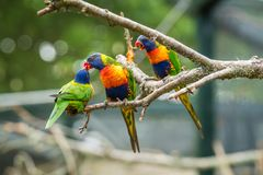 Lorikeets - a Colourful Rainbow Parrots. Colourful Rainbow parrots called Lorikeet, sitting on the branch in a cage in a zoo stock photos