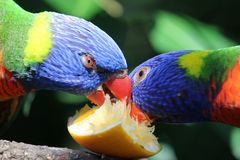 Lorikeets d'arc-en-ciel mangeant la tranche orange Photographie stock libre de droits