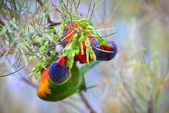 Lorikeets d'arc-en-ciel mangeant sur un arbre Image stock