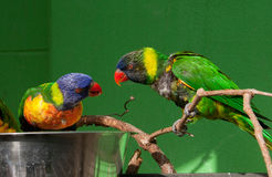 Lorikeets Eating from a Bowl Royalty Free Stock Images
