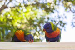 Lorikeets feeding Royalty Free Stock Images