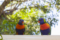 Lorikeets feeding Royalty Free Stock Photo