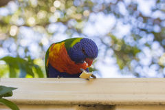 Lorikeets feeding Royalty Free Stock Image