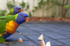 Lorikeets feeding Royalty Free Stock Photography