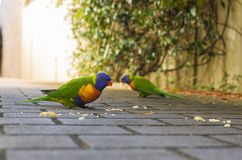 Lorikeets feeding Royalty Free Stock Photos