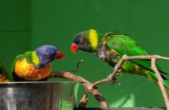 Lorikeets mangeant d'une cuvette Images libres de droits