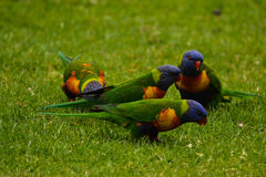Lorikeets sur l'herbe Images stock